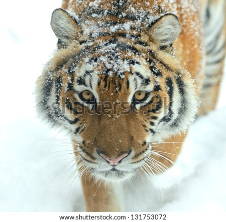 Portrait of Tiger in its natural habitat - stock photo