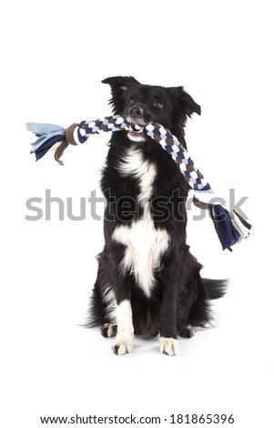 Portrait of toy carrying border collie - stock photo