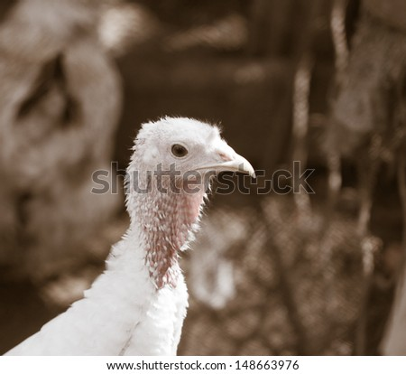portrait of turkey - stock photo