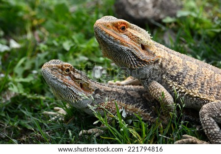 Portrait of two Australian Bearded Dragons in natural environment on blurry green grass background. - stock photo