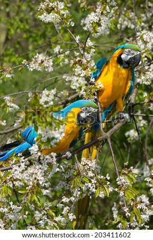 Portrait of two beautiful parrots ara Ararauna in nature