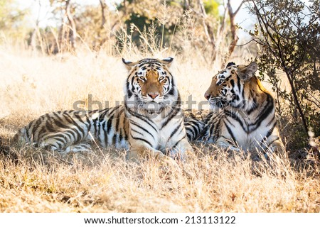 portrait of two bengal male and female tigers resting in the shade of a bush in the dry savanna - stock photo