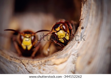 Portrait of two big wasps - hornets about an entrance to a nest. - stock photo