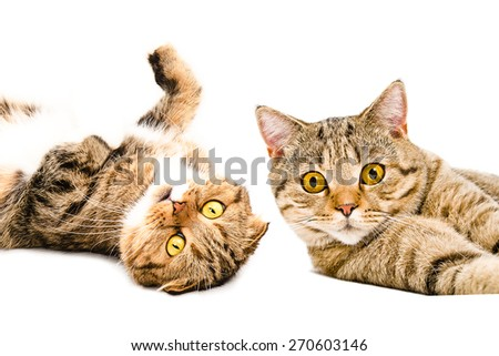 Portrait of two cats Scottish Fold and Scottish Straight lying together close-up isolated on white background   - stock photo