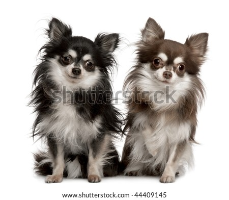Portrait of two Chihuahuas, 7 years old, sitting in front of white background - stock photo