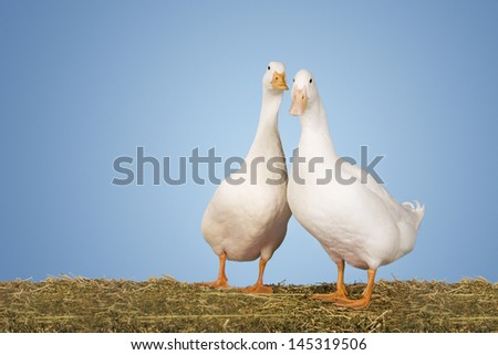 Portrait of two geese standing against clear blue sky - stock photo