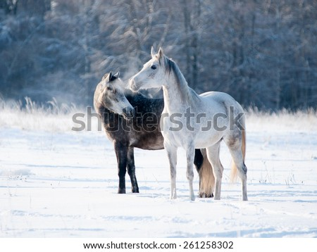 Portrait of two grey horses in winter - stock photo
