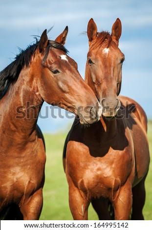 Portrait of two horses - stock photo