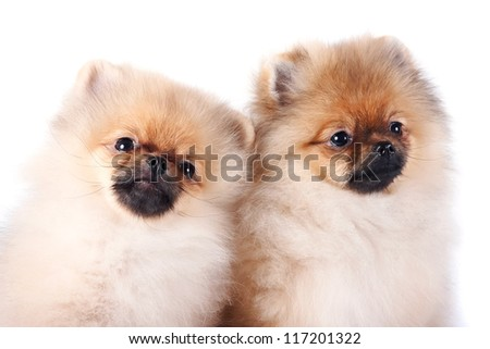 Portrait of two puppies of a spitz-dog on a white background