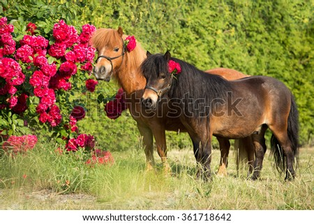 Portrait of two Shetland ponies with rose bushes - stock photo
