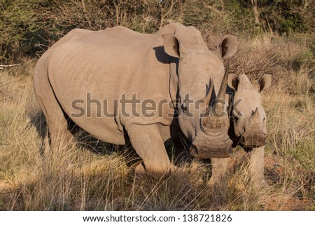 portrait of two white rhinos, mother and calf standing in the african savanna - stock photo