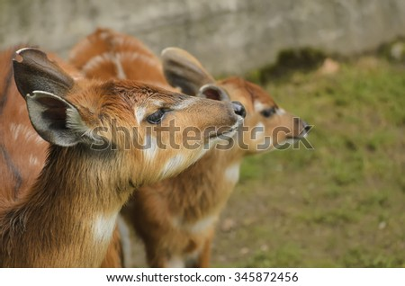 Portrait of two young female sitatunga antelope in the zoo - stock photo