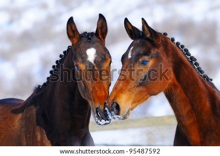 Portrait of two young horses in winter - stock photo