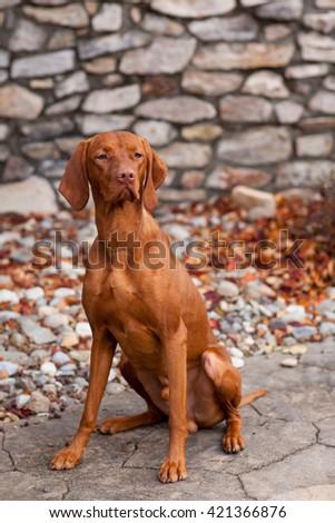 Portrait of Vizsla dog sitting with stone background - stock photo