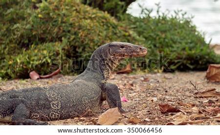 Portrait of water monitor lizard. Focus on eye. - stock photo