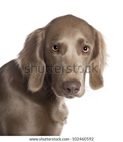 Portrait of Weimaraner, 8 months old, in front of white background - stock photo