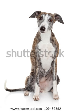 Portrait of Whippet dog on a white background - stock photo