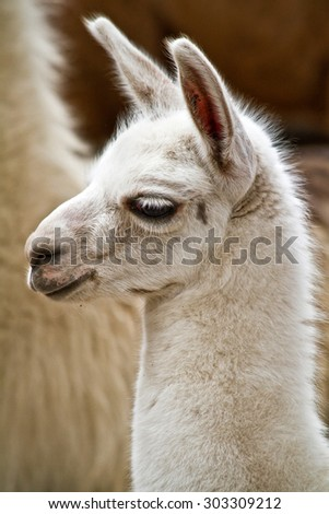 Portrait of white andean llama in Ecuador - stock photo