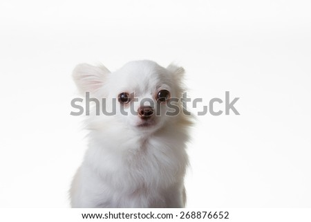 Portrait of white Chihuahua. On isolated background. - stock photo