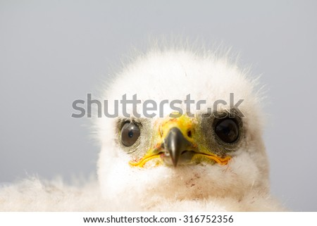 Portrait of white fluffy chick, Rough-legged Buzzard in nest. Novaya Zemlya archipelago, close-up - stock photo