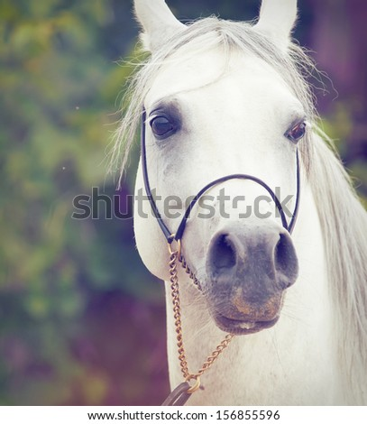 portrait of white  purebred arab. close up - stock photo