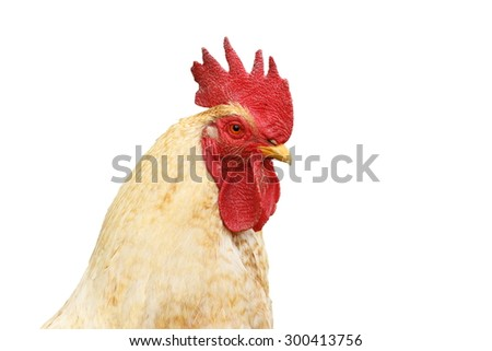 portrait of white rooster isolated over white background for your design - stock photo