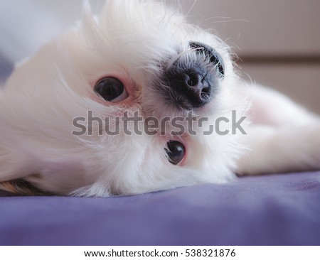 Portrait of white Shih-Tzu dog lies on the bed in bedroom. Love animal concept. Lazy day concept.