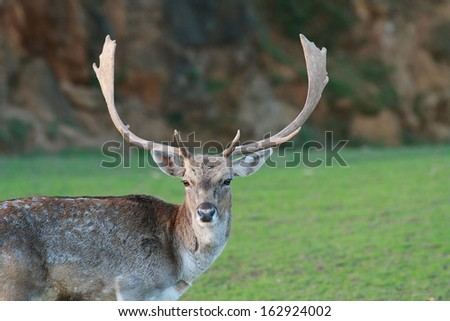 Portrait of white tailed deer (Odocoileus virginianus)