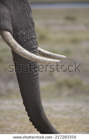 Portrait of wild african elephant