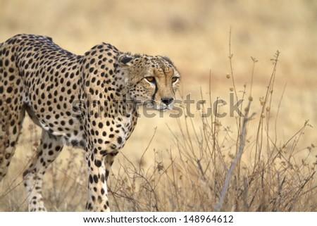 Portrait of wild cheetah patrolling - stock photo
