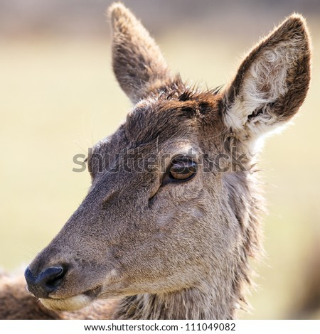portrait of wild doe in alert in a meadow - stock photo