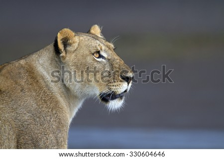 Portrait of wild lion in its natural savanna habitat - stock photo