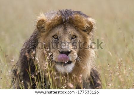 Portrait of wild male lion - stock photo