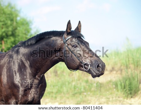 portrait of wondeful russian breed  black stallion