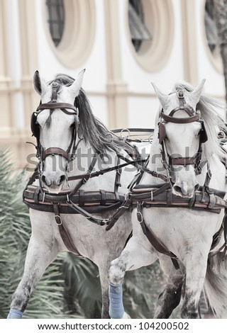 portrait of wonderful carriage white horses in movement in Jeres,  Spain - stock photo