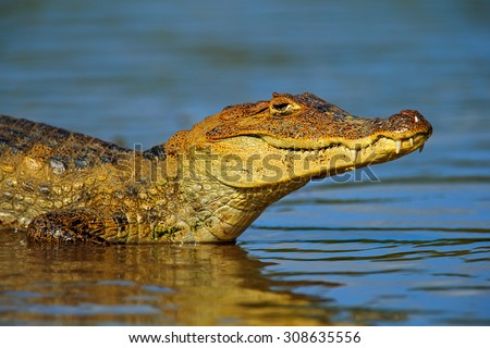 Portrait of Yacare Caiman in blue water, Cano Negro, Costa Rica - stock photo