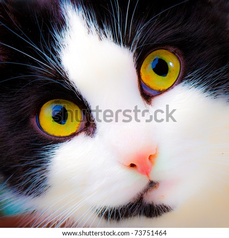 portrait of yellow-eyed cat - stock photo