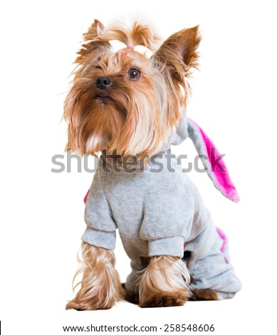Portrait of Yorkshire Terrier dog in catsuit. Isolated over white background  - stock photo