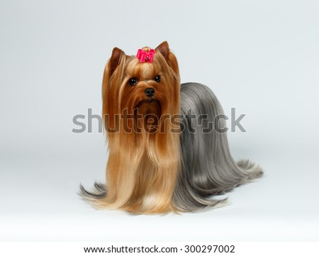 Portrait of Yorkshire Terrier Dog on White background - stock photo