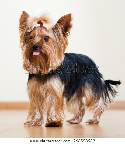 Portrait of  Yorkshire Terrier dog staying on parquet  floor indoor - stock photo