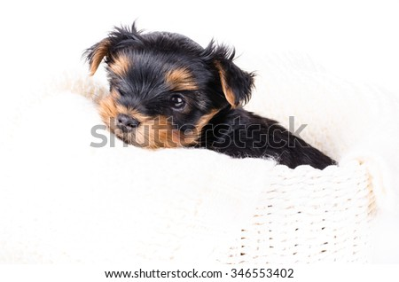 Portrait of  yorkshire terrier puppy, 2 months old, isolated on white.  - stock photo