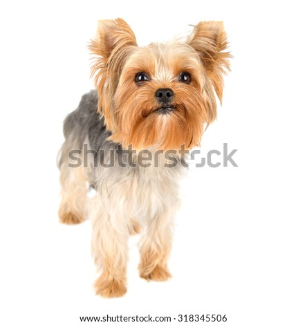 Portrait of Yorkshire terrier pure breed on white background - stock photo