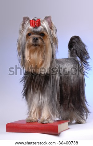 Portrait of yorkshire terrier standing on red book