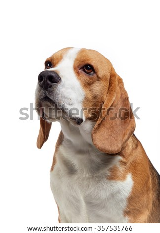 portrait of young beagle dog on a white background - stock photo
