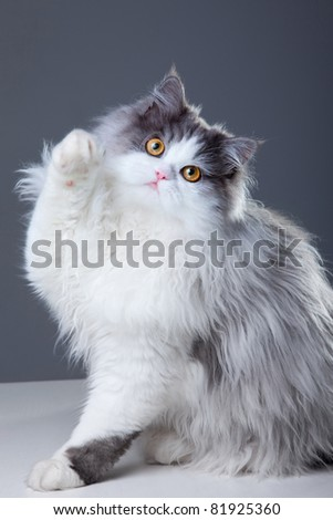 Portrait of young beautiful gray and white persian cat playing on grey background - stock photo