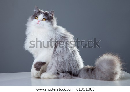 Portrait of young beautiful gray and white persian cat sitting on grey background - stock photo