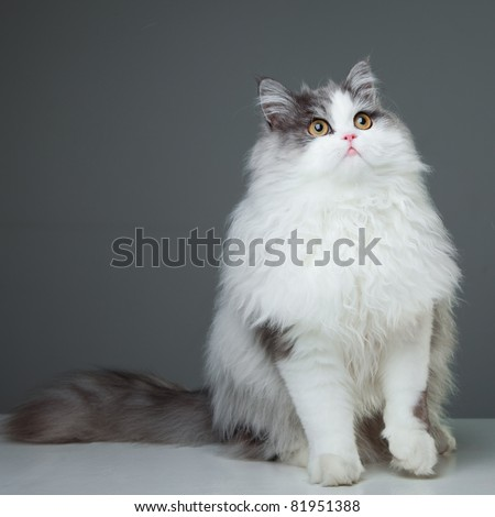 Portrait of young beautiful gray and white persian cat with yellow eyes sitting on grey background - stock photo
