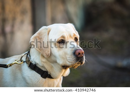 Portrait of young beige labrador dog breed with a sad look