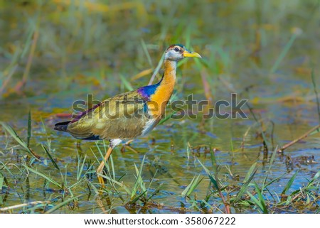 Portrait of young Bronze-winged Jacana (Metopedius indicus) in nature in Thailand