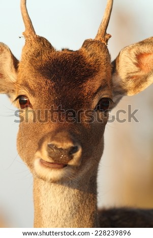 portrait of young fallow deer buck ( Dama ) - stock photo